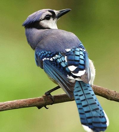 tweepie青い鳥
